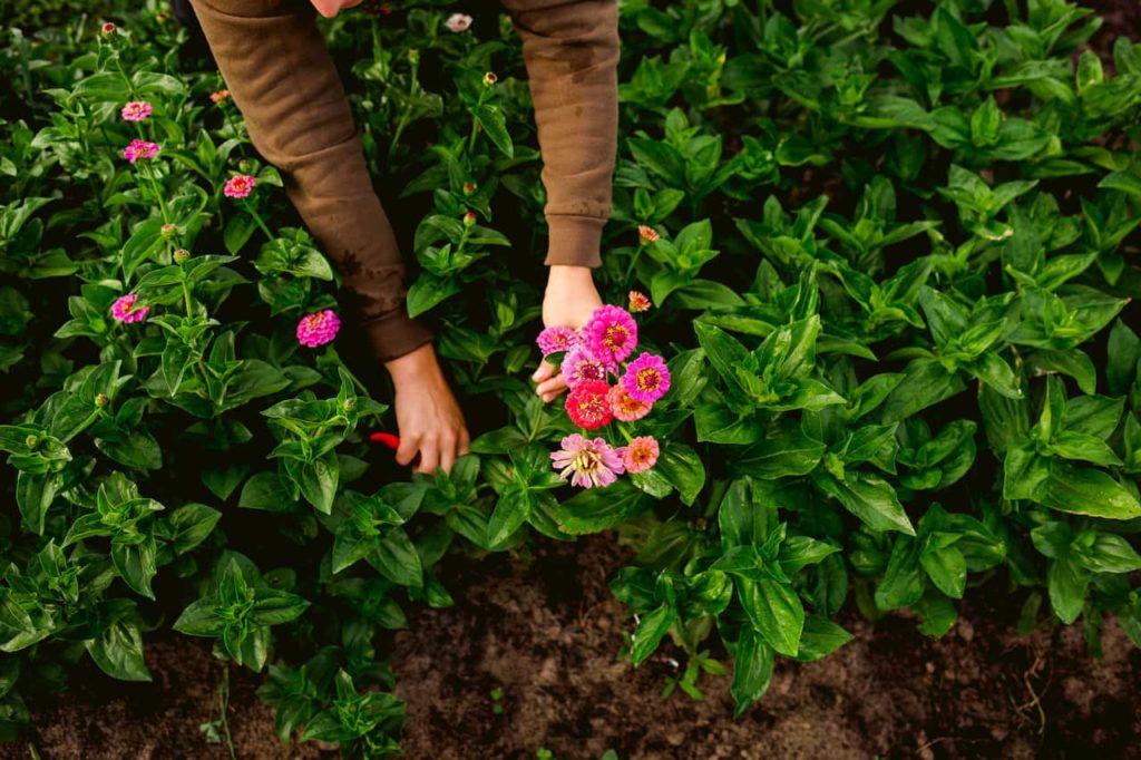 Picking zinnias in the flower field