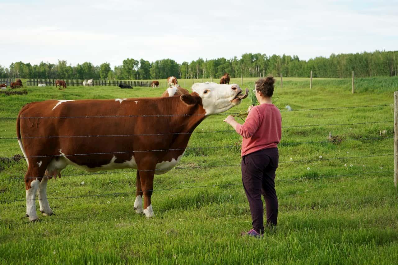Kayla feeding her cow
